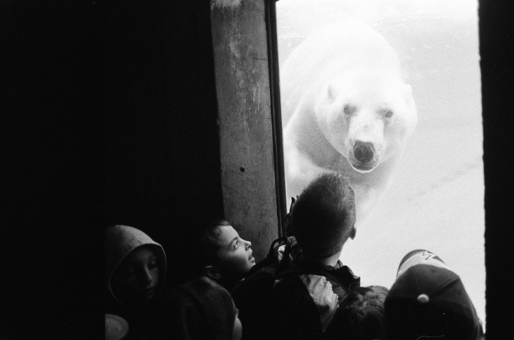 Polar Bear At The Zoo Canada